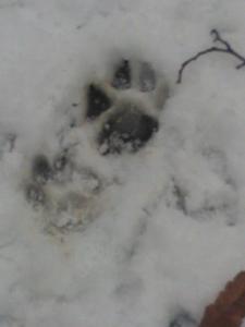 tracce di lupo nel Praco Nazionale delle Foreste Casentinesi